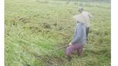 Hàng chục ngàn ha lúa bị ngã đổ sau bão số 16