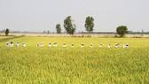ĐBSCL: Chuyển giao 2 giống lúa mới chịu được độ mặn cao