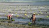 Cuối tháng 11-2019, xuống giống xong 1,2 triệu ha lúa đông xuân để né hạn mặn