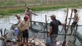 Nhiều hộ thua lỗ cá tra đã chuyển sang nuôi cá trê, cá lóc