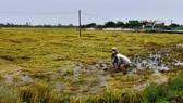 ĐBSCL: Khẩn trương tiêu thoát nước, cứu lúa bị ngập úng