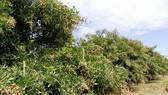 Đã tiêu thụ hàng trăm tấn nhãn cho nông dân ở An Giang