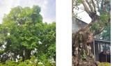 Cây thị 900 tuổi gắn liền với chiến tích Bạch Đằng Giang được công nhận là cây Di sản