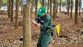 205 thí sinh dự Hội thi Bàn tay vàng thu hoạch mủ cao su