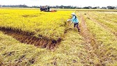 Central  farmers enjoy bumper paddy harvest