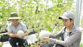 Honeydew melons for export are grown in Cu Chi District in Ho Chi Minh City. (Photo: SGGP)