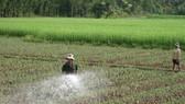 Crop switching on rice growing land brings higher economic efficiency. (Photo: SGGP)