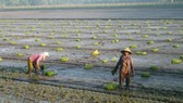 Farmers to finish growing 1.2 million hectares of rice by November's end