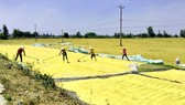 Rice harvesting in Can Tho City. (Photo: SGGP)