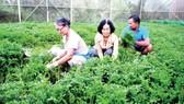 60 percent of cultivation area in HCMC gets VietGAP certificate