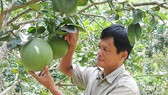 US to greenlight export of pomelos from Vietnam