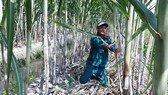 Farmers grow sugarcane in Hau Giang Province. (Photo: SGGP)