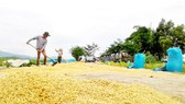 Rice harvesting in the Mekong Delta. (Photo: SGGP)