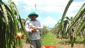 Despite the high price increase, dragon fruit growers in Binh Thuan Province feel concerned. (Photo: SGGP)
