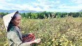 Rose myrtle cultivation brings economic efficiency five times higher than acacia