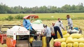 Summer-autumn rice production estimated at 8.5 million tons in Mekong Delta