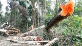 Ban Quản lý rừng phòng hộ Ayun Pa để xảy ra nạn phá rừng, giao khoán bảo vệ rừng trên diện tích không có rừng
