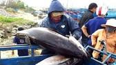Tuna fished off the coast of Phu Yen province (Photo: VNA)