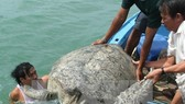 A turtle is released into the sea (Photo: VNA)