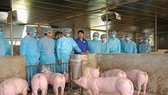 Vietnam will focus on timely detection of infected cases and the adoption of preventive measures against African swine fever as well as minimise economic losses and the negative impact of pork price fluctuations on society. (Photo: kinhtedothi.vn)