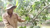 Nông dân Bến Tre tập trung khôi phục vườn cây ăn trái sau khi công bố kết thúc thiên tai do xâm nhập mặn. Ảnh: TÍN HUY
