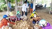 Bến Tre hỗ trợ tiêu thụ khoảng 200 tấn củ sắn cho bà con Thạnh Phú