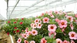 Quảng Ngãi: Rực rỡ 5.000 chậu hoa ngoại nhập của lão nông