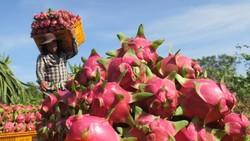 Năm 2020, sản lượng thanh long thu hoạch ở Bình Thuận đạt gần 700.000 tấn