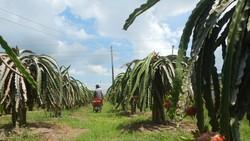 Bình Thuận đang có diện tích và sản lượng thanh long lớn nhất cả nước.