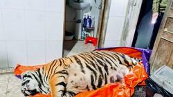 Cá thể hổ nằm bất động