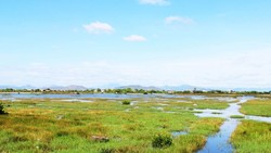 Ruộng đồng của người dân thôn Huỳnh Giản Bắc (xã Phước Hòa, huyện Tuy Phước,  Bình Định) phải bỏ hoang vì nhiễm mặn nghiêm trọng. Ảnh: NGỌC OAI
