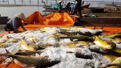 Ngư dân trúng đậm hàng tấn cá chim vây vàng