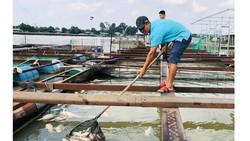 Cá nuôi lồng bè trên sông Đồng Nai chết hàng loạt