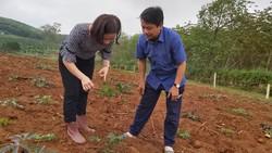 Hàng ngàn hecta khoai mì bị bệnh khảm lá