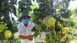 Hà Tĩnh: Vụ mùa bưởi Phúc Trạch thu về khoảng 660 tỷ đồng