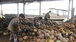 ĐBSCL: Giá dừa khô tăng cao