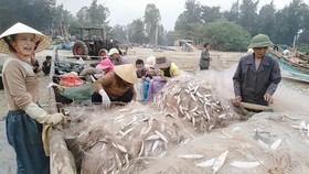 Rộn rã mùa cá trích