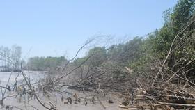 """Nhiều cây đước rừng phòng hộ ven biển Đông nguy cơ """"chết đứng"""""""