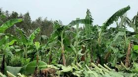 Trên 1.470 ha chuối vùng U Minh Hạ (Cà Mau) và U Minh Thượng (Kiên Giang) bị thiệt hại do ảnh hưởng bão số 2