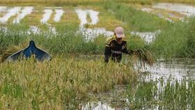 Tại vùng ngọt hóa huyện Trần Văn Thời (tỉnh Cà Mau) lúa bị ngập phải cắt bằng tay nên tiến độ thu hoạch rất chậm