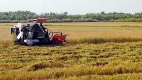 Bạc Liêu nhờ các tỉnh lân cận hỗ trợ người và phương tiện thu hoạch lúa hè thu