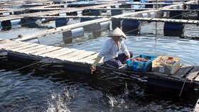 Một bè cá của người Trung Quốc tại Cam Ranh, năm 2012.