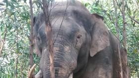 Voi rừng ở Đồng Nai tiếp tục phá vườn rẫy của người dân