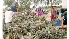 Farmers in the Mekong delta province harvest pineapple (Photo: SGGP)