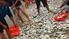 Fishermen of Cam Nhuong Commune caught tons of sardines