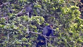 Grey-shanked douc langurs in Nui Thanh's Hon Do mountain (Photo: baoquangnam.vn)