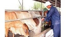 Outbreaks of foot-and-mouth disease occurs in Ha Tinh
