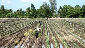 Farmers in Cu Lao Dung switch to grow fruits instead of sugar cane to earn more profit (Photo :SGGP)