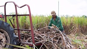 Sugarcane is one of the most promising agricultural sources of biomass energy (Photo: SGGP)