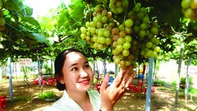 Thuy shares that vines seem to be suitable to climate in the Mekong Delta so it has more sugar than other region (Photo: SGGP)